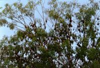 023 - Flying Foxes belagern ganze Baumgruppen