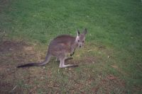 026 - Wallaby