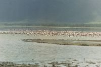 040 - Flamingos machen Rast im Lake Magadi